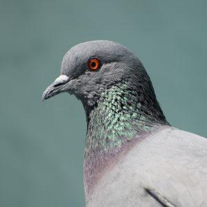 Ustalenie profilu DNA gołębia